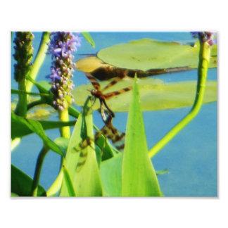 Brown rayó libélulas en la foto del Pickerelweed Fotografías