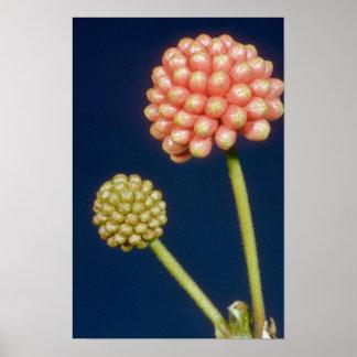 Brown Red haole lehua (Calliandra grandiflora) flo Poster