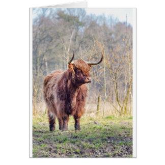 Brown scottish highlander cow standing in spring card