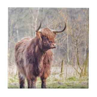 Brown scottish highlander cow standing in spring ceramic tile