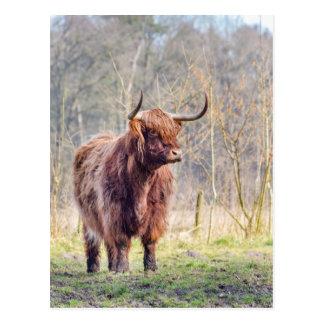 Brown scottish highlander cow standing in spring postcard