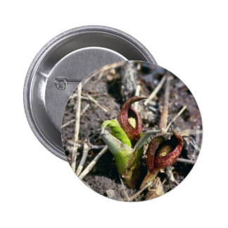 Brown Skunk Cabbage (Symplocarpus Foetidus) flower Button