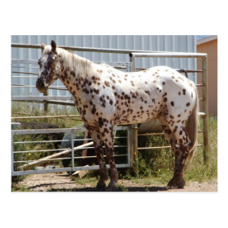 Brown spotted Appaloosa horse Postcard