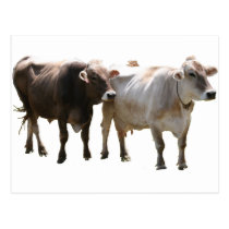 Brown Swiss Cows Postcard