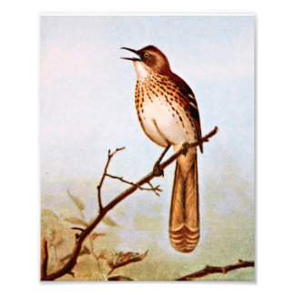 Brown Thrasher Bird Art Photo Art