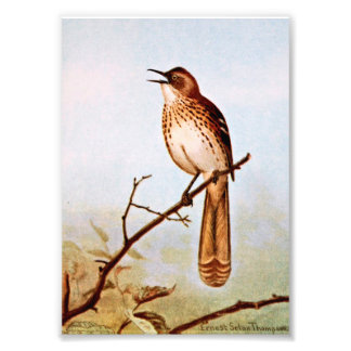 Brown Thrasher Bird Art Photo