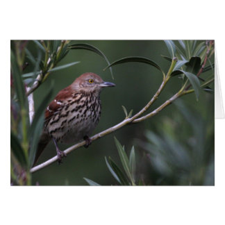Brown Thrasher - Joe Sweeney - card