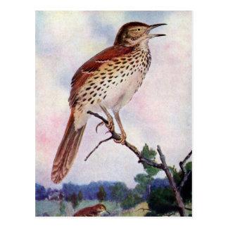 Brown Thrasher Post Card