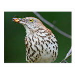 Brown Thrasher w/ Catch Of the Day Gifts Apparel Postcard