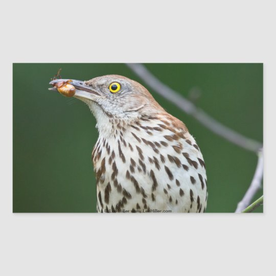 Brown Thrasher w/ Catch Of the Day Gifts Apparel Rectangular Sticker