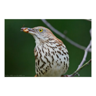 Brown Thrasher w/ Catch Of the Day Poster