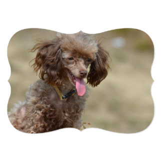 Brown Toy Poodle Card