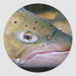 Brown trout classic round sticker