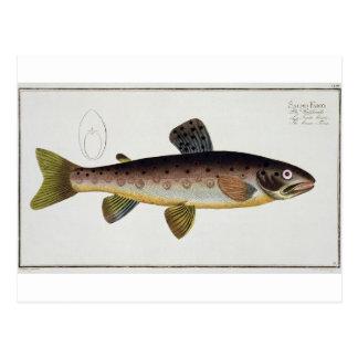 Brown Trout (Salmo Iasustris) plate XXIII from 'Ic Postcard