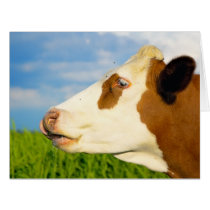 Brown white cow looking straight ahead. card