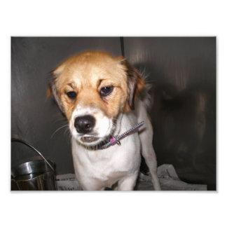 Brown y mezcla blanca de Terrier en jaula Impresion Fotografica