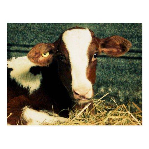 Brown y vaca de leche blanca tarjeta postal