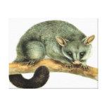 Brushtail Possum Stretched Canvas Print
