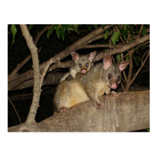 Brushtail Possums Postcard