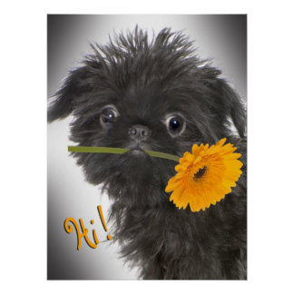 Brussels Griffon black with Daisy Poster