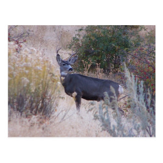 Buck Deer Postcard
