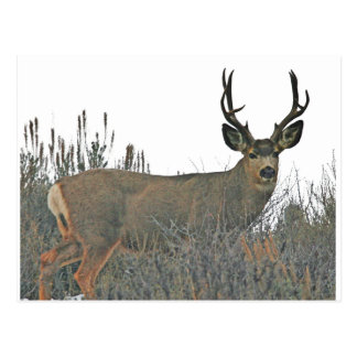Buck deer w postcard
