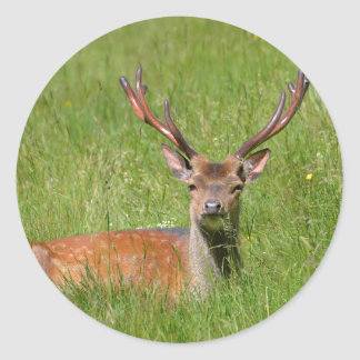 Buck fallow deer in grass classic round sticker