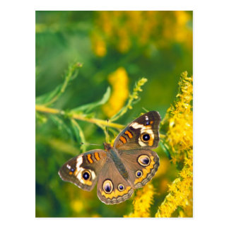 buckeye butterfly on missouri goldenrod postcard