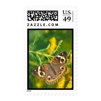 Buckeye Butterfly Stamp