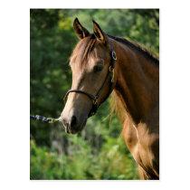 Buckskin Morgan Horse Postcard