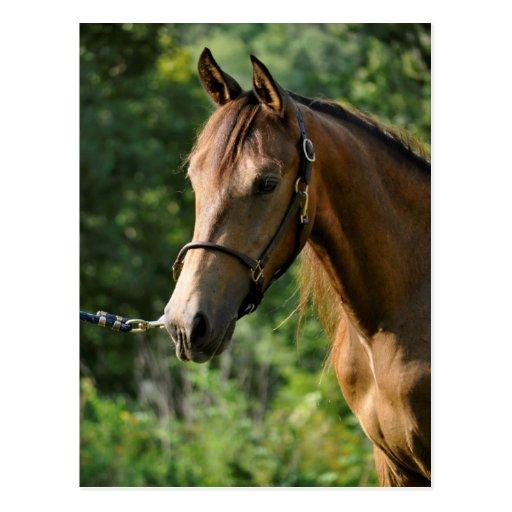 Buckskin Morgan Horse Postcards