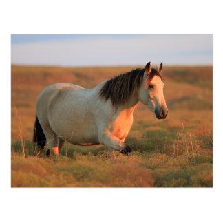Buckskin Mustang Post Card
