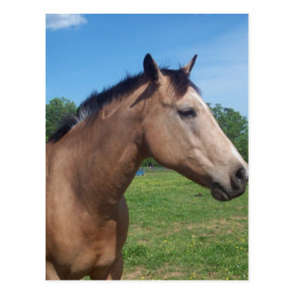 Buckskin Mustang Postcard