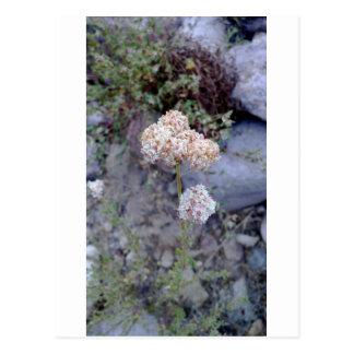 buckwheat.jpg postcard