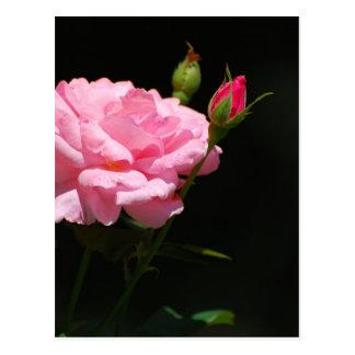 Bud of a rose postcard