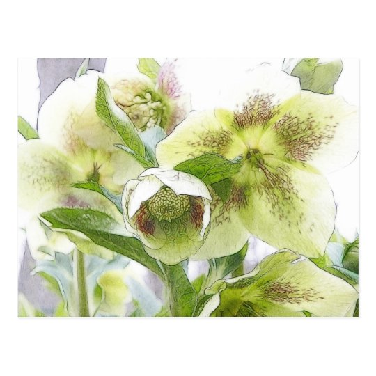 Bud To Blossom - White Hellebores Postcard