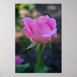 Budding Pink Rose Poster