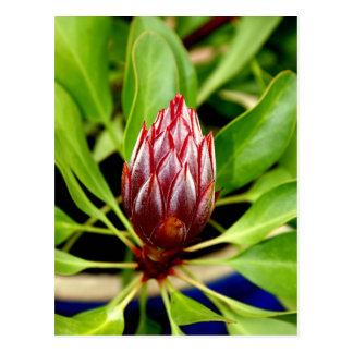 budding protea postcard