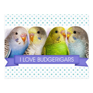 Budgerigars realistic painting post cards