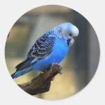 Budgie azul pegatina redonda