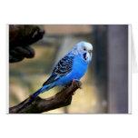 Budgie azul tarjetas