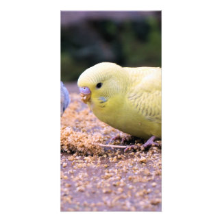 Budgie Card