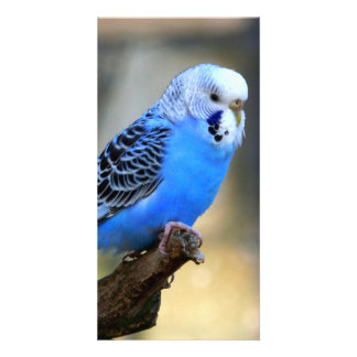 Budgie Photo Card Template