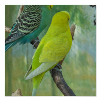 Budgie Perfect Poster