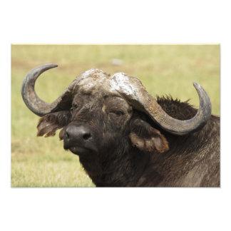 Búfalo africano, caffer de Syncerus, colocándose a Fotografía