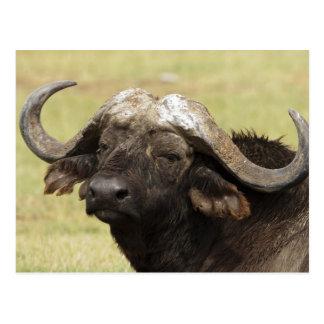 Búfalo africano, caffer de Syncerus, colocándose Postal