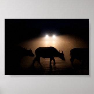 Búfalo africano del cabo póster