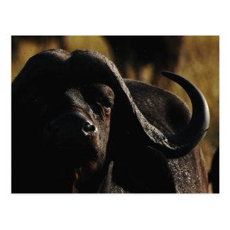 Búfalo - animal grande cinco del safari postales