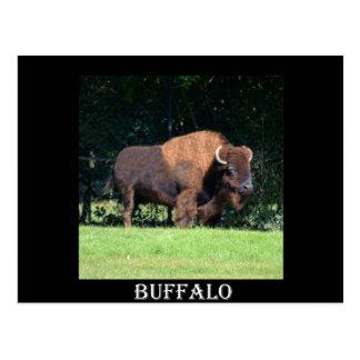 Búfalo (bisonte) Kansas, Oklahoma, Wyoming Tarjeta Postal