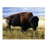 Búfalo Bull Postal